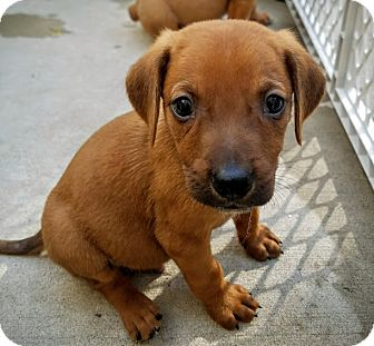 Redbone Coonhound/Labrador Retriever Mix Puppy for adoption in Chicago, Illinois - Conner*ADOPTED!*