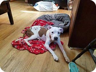 Pit Bull Terrier Mix Puppy for adoption in Wichita, Kansas - Honey