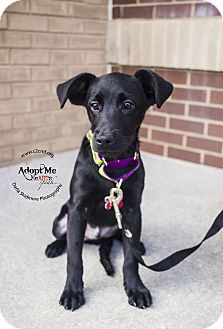 Labrador Retriever/Terrier (Unknown Type, Medium) Mix Puppy for adoption in Charlotte, North Carolina - Gomez (Addams Family Litter)