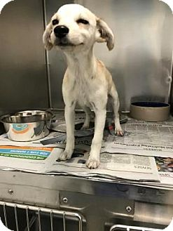Terrier (Unknown Type, Small) Mix Puppy for adoption in Miami, Florida - Nina
