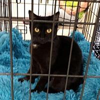Domestic Shorthair Cat for adoption in St. Cloud, Florida - Magic