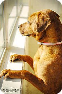 Catahoula Leopard Dog/Labrador Retriever Mix Dog for adoption in Santa Fe, Texas - Buffy