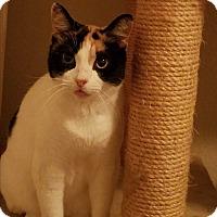 Calico Cat for adoption in Keller, Texas - Bella
