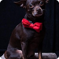 Chihuahua Mix Dog for adoption in Dallas, Texas - Charlie