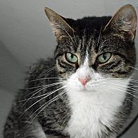 Adopt A Pet :: Al E. Cat - Middletown, NY