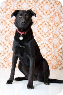 Labrador Retriever Mix Dog for adoption in Portland, Oregon - Mike
