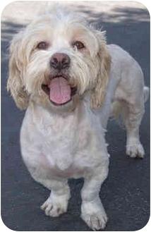 Cockapoo/Corgi Mix Dog for adoption in Marina del Rey, California - Icon