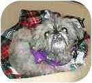 Pekingese/Yorkie, Yorkshire Terrier Mix Dog for adoption in Bunnell, Florida - Bud
