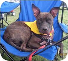 Pit Bull Terrier Mix Dog for adoption in Framingham, Massachusetts - Annabelle