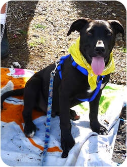 Labrador Retriever/Border Collie Mix Puppy for adoption in Sacramento, California - Magnum sweet