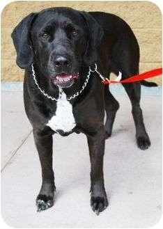 Labrador Retriever Mix Dog for adoption in Gilbert, Arizona - Sirius