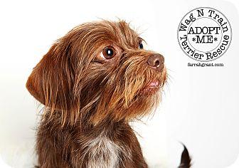 Shih Tzu/Dachshund Mix Dog for adoption in Omaha, Nebraska - Sasha-adoption pending