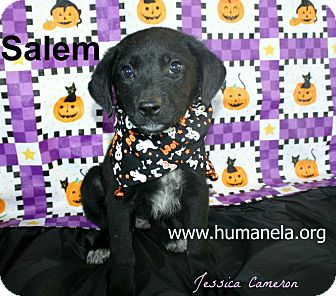 Labrador Retriever Mix Puppy for adoption in Stow, Maine - Salem and Raven