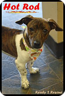 Dachshund/Chihuahua Mix Dog for adoption in Rockwall, Texas - Hot Rod