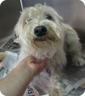Schnauzer (Miniature) Dog for adoption in Oak Ridge, New Jersey - Lilly