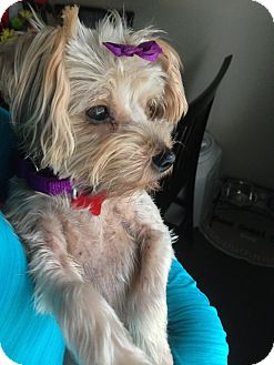Yorkie, Yorkshire Terrier Mix Dog for adoption in Troy, Michigan - Sadie