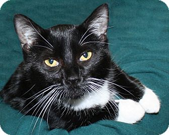 American Shorthair Cat for adoption in Rochester, New York - Slippers