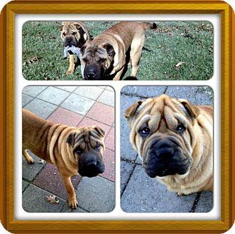 Shar Pei Dog for adoption in Houston, Texas - Mr. Miyagi
