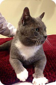 Russian Blue Cat for adoption in Cranford/Rartian, New Jersey - Oscar
