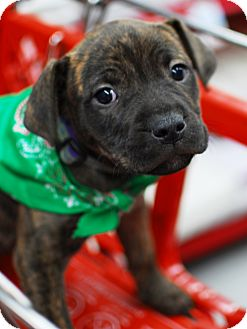 American Bulldog/American Pit Bull Terrier Mix Puppy for adoption in Detroit, Michigan - Mila-Adopted!