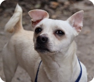Chihuahua/Dachshund Mix Dog for adoption in Hampton, Virginia - Mookie