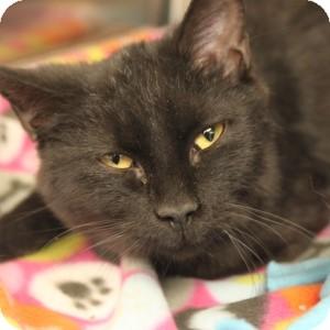 Domestic Shorthair Kitten for adoption in Naperville, Illinois - Barney