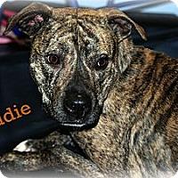 Adopt A Pet :: Eddie - PENDING, in Maine - kennebunkport, ME
