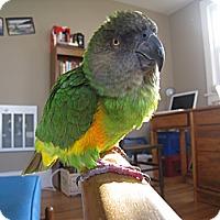 Adopt A Pet :: Mausie - Lenexa, KS