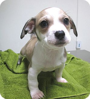 Chihuahua Mix Puppy for adoption in Los Angeles, California - BRIAN