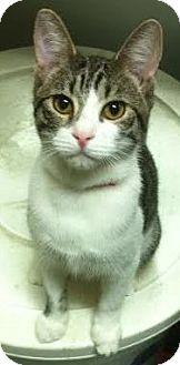 Domestic Shorthair Kitten for adoption in Westminster, California - Shelby