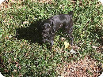 Cocker Spaniel/Labrador Retriever Mix Dog for adoption in Alpharetta, Georgia - Puck-Courtesy Post