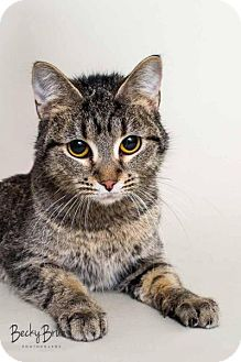 Domestic Shorthair Cat for adoption in Sauk Rapids, Minnesota - SLINKY