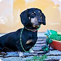Adopt A Pet :: Sammy Snow - Shawnee Mission, KS