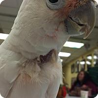 Adopt A Pet :: Annie - St. Louis, MO