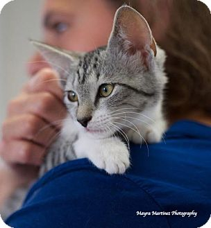Domestic Shorthair Kitten for adoption in Chattanooga, Tennessee - Sherea