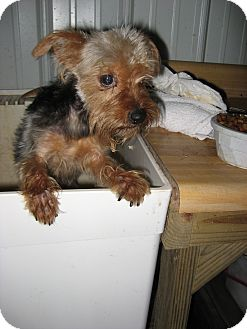 Yorkie, Yorkshire Terrier Dog for adoption in Paris, Illinois - Tyler