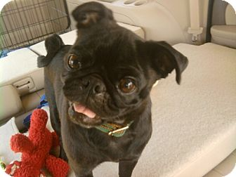 Pug Mix Dog for adoption in Rockville, Maryland - Fia