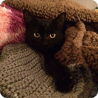 Domestic Shorthair Kitten for adoption in Lombard, Illinois - Laila