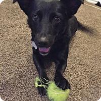 Adopt A Pet :: Petunia - Rigaud, QC