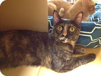 Domestic Shorthair Cat for adoption in Scottsdale, Arizona - Betty