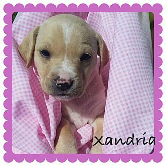 Labrador Retriever/Boxer Mix Puppy for adoption in waterbury, Connecticut - Xandria