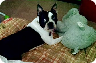 Boston Terrier Dog for adoption in Minnetonka, Minnesota - Roscoe