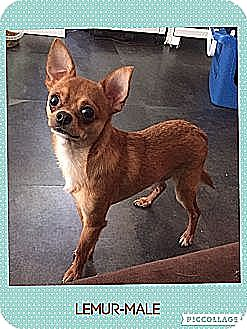 Chihuahua Dog for adoption in Columbus, Ohio - Lemur (Reduced Fee)