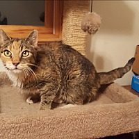 Domestic Shorthair Cat for adoption in Middlesex, New Jersey - Betty Boop