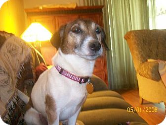 Jack Russell Terrier Mix Dog for adoption in DeLand, Florida - Kobe