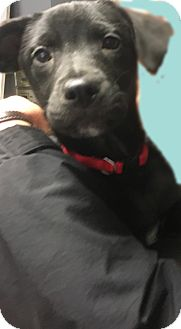 Labrador Retriever Puppy for adoption in Pompton Lakes, New Jersey - Lab boy pup