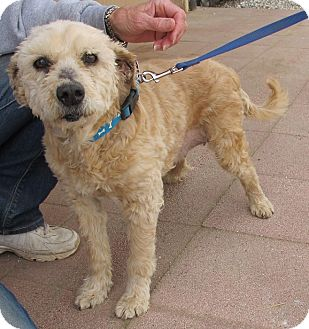 Terrier (Unknown Type, Small)/Poodle (Miniature) Mix Dog for adoption in Toluca Lake, California - DUCHESS