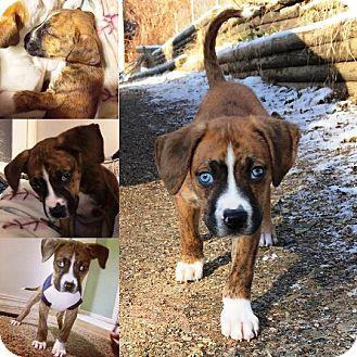 Boxer Mix Puppy for adoption in Kalamazoo, Michigan - Jellybean - Melissa