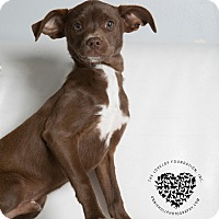 Adopt A Pet :: Tommy - Inglewood, CA