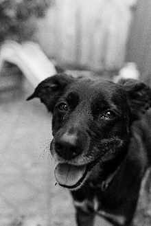 Labrador Retriever/Australian Cattle Dog Mix Dog for adoption in Pt. Richmond, California - FRIPP